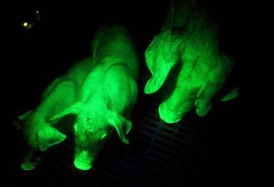green-pig.jpg