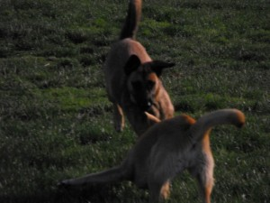 barcelona dogs playing