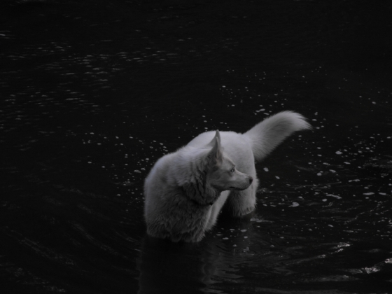 white husky black water